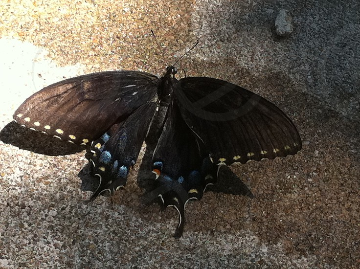 One of the largest butterflies I've ever seen. photo