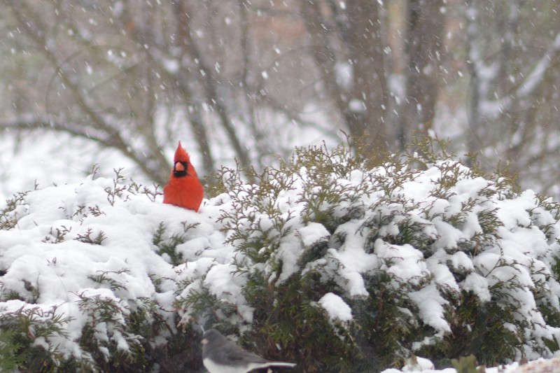 red cardinal bird resting on tree covered in snow photo