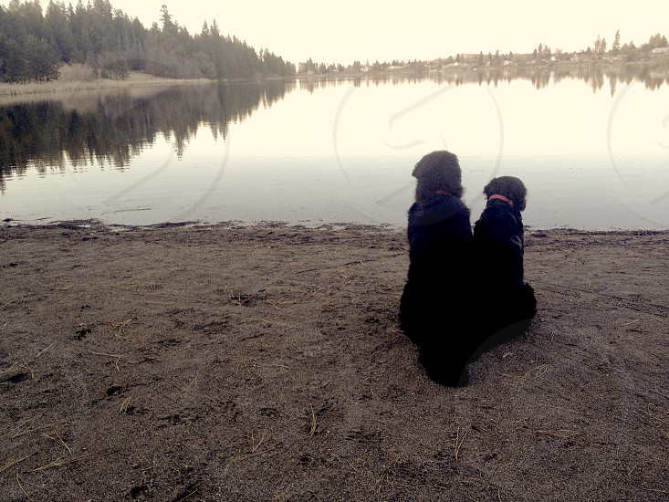 Two Newfoundlands watching over the water. photo