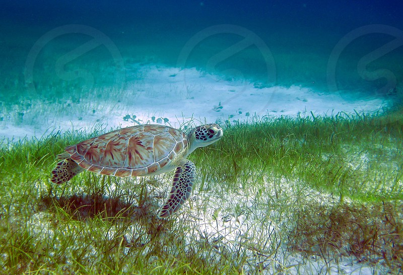 Green sea turtle near some reef in the Mexican Caribbean waters  photo