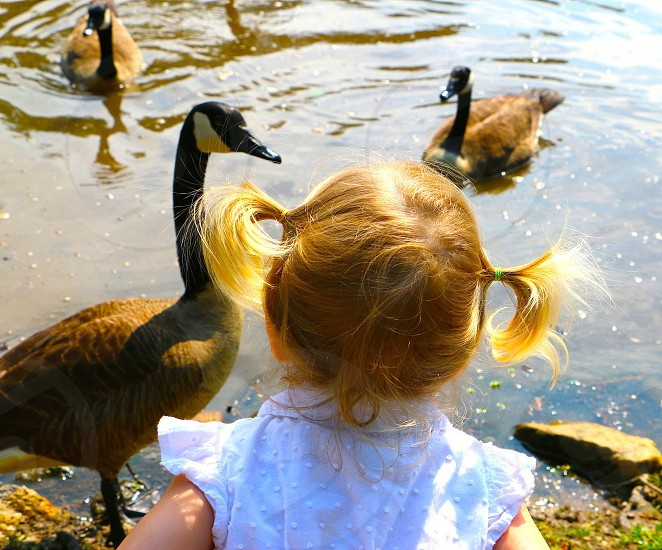Little girl feeding geese at a local pond. photo