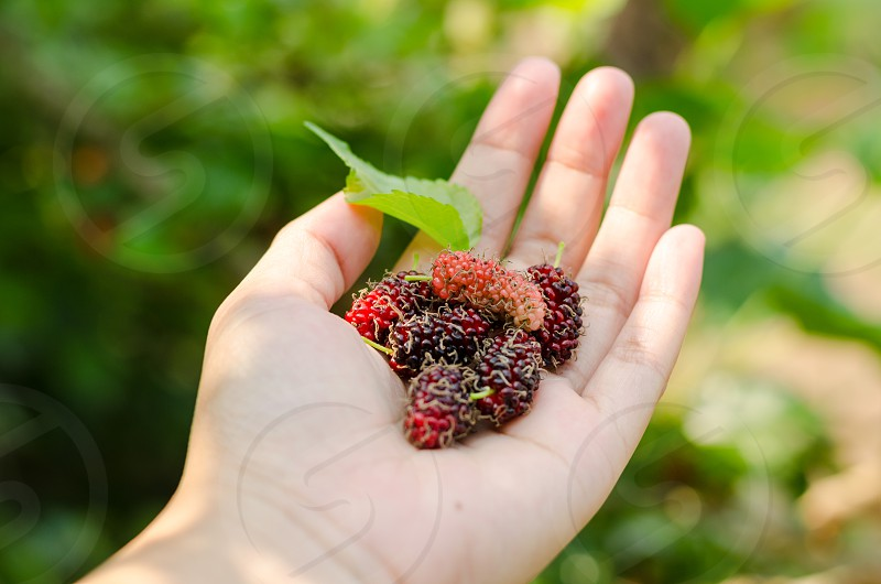 closeup of mulberry fruit on person hand photo