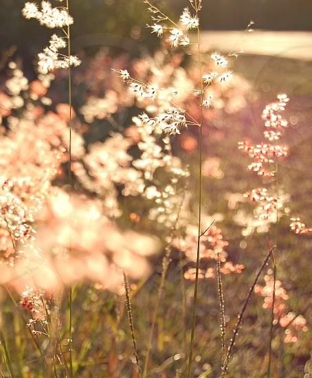 Pink backlit grasses. nature plants grass delicate  photo