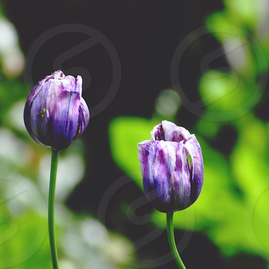 Tulips in Springtime photo