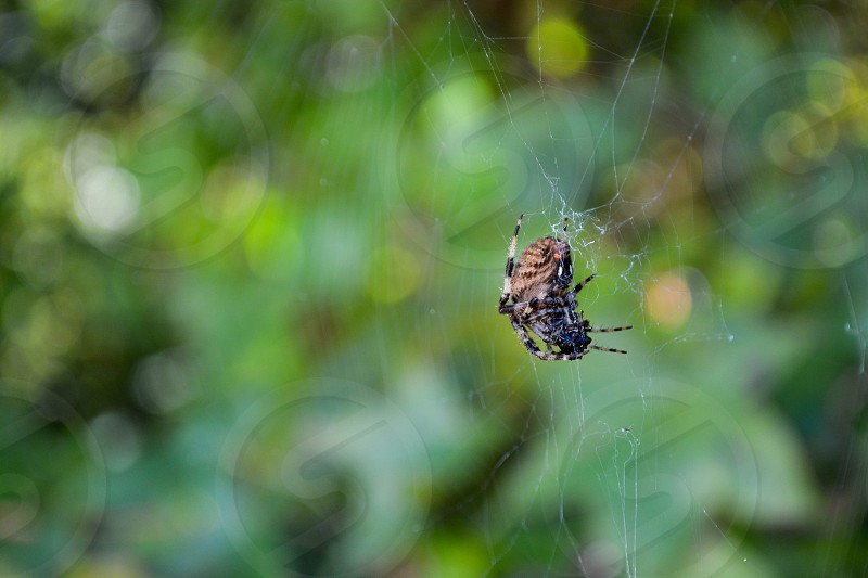 close up photography of araneus spider on web photo