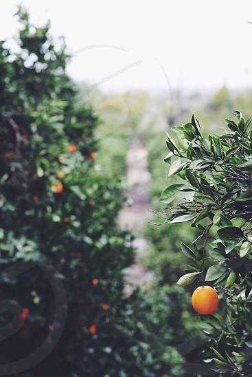 orange fruit plant photo