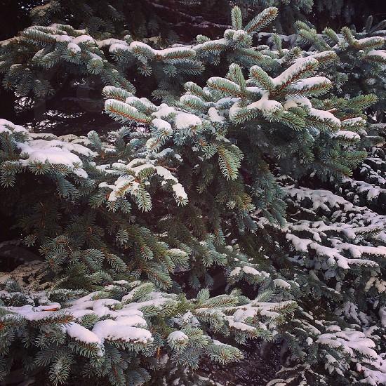 Winter snow Midwest blue spruce pine tree photo