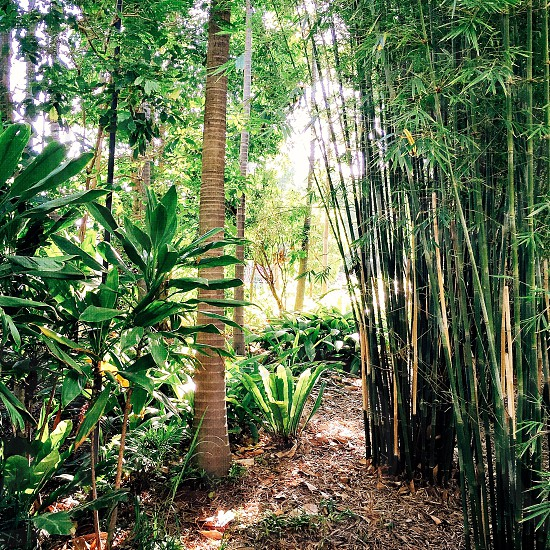bamboo trees in the forest photo