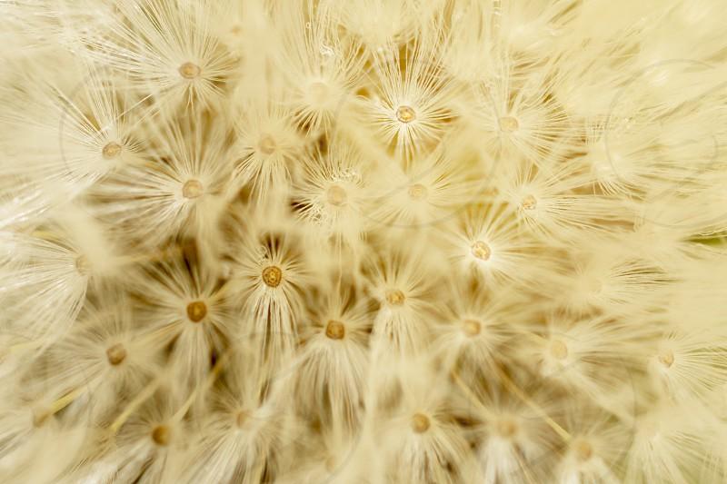 dandelion detail close-up photo