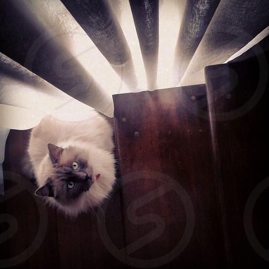 lovely fluffy cat photo