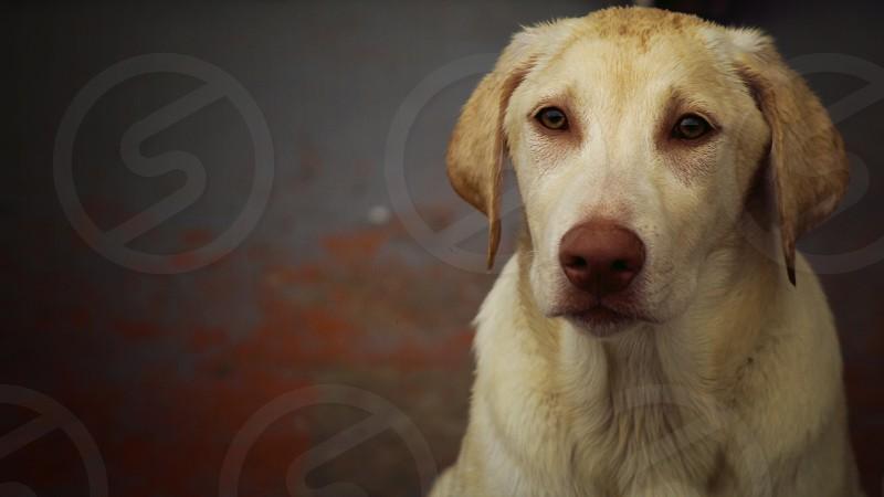 Yellow lab adopt dog pet puppy Labrador  photo