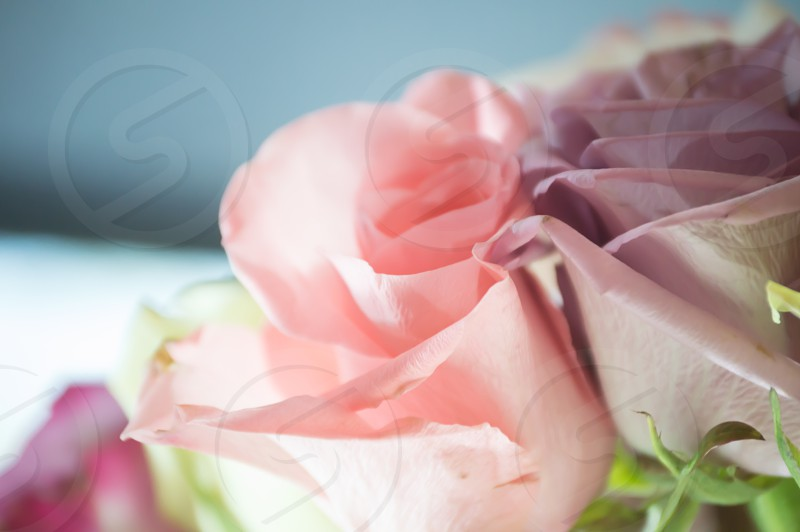 selective photography of pink and purple rose photo