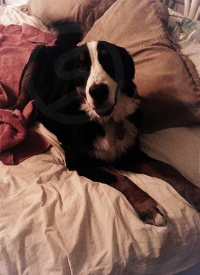 black and white bernese mountaindog photo
