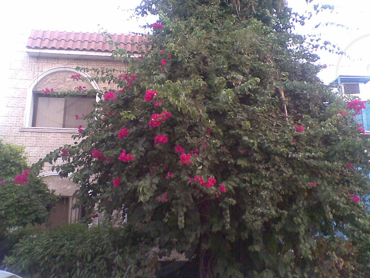 Red Flowers Tree  photo