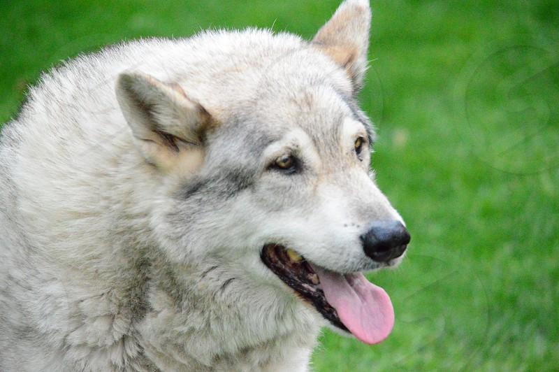 white german shepherd dog photo