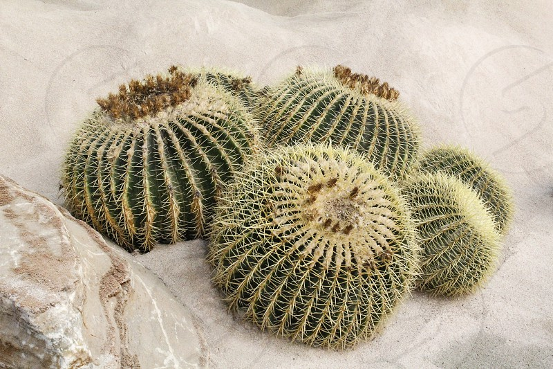 round-shaped cactus plant planted on dry and sandy land photo
