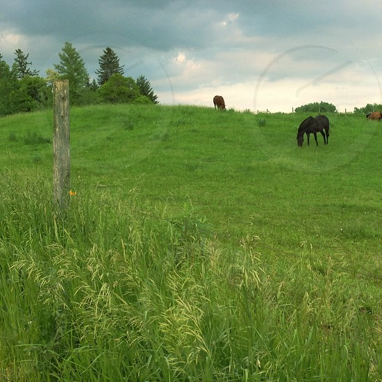 black horse on green field eating photo