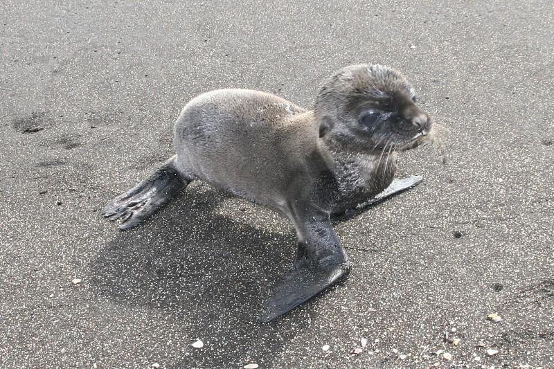 gray baby seal photo