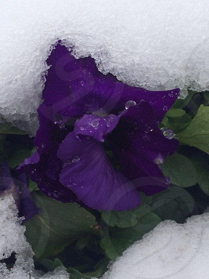 close-up photography of purple petaled flower between frozen water photo