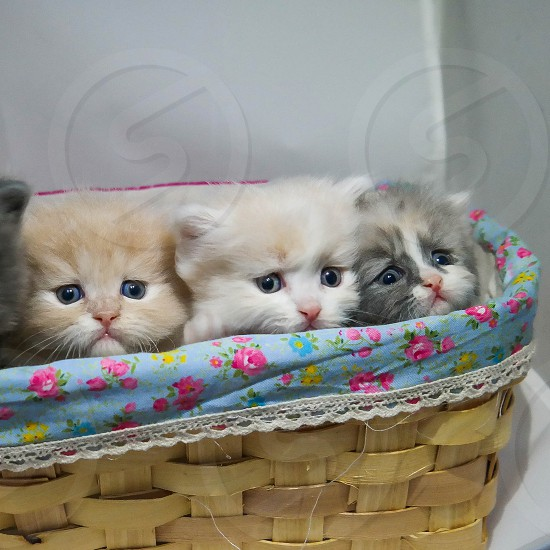 three kittens on basket photo