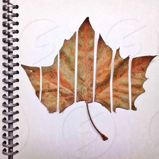 maple tree leaf photo