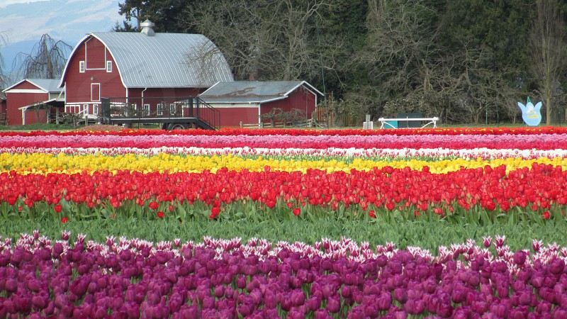 tulips colorful flowers spring rows blooms farm barn Mt. Vernon Skagit Valley Washington brilliant vibrant photo