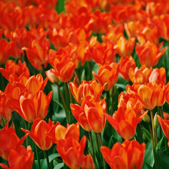 orange flowers field photo