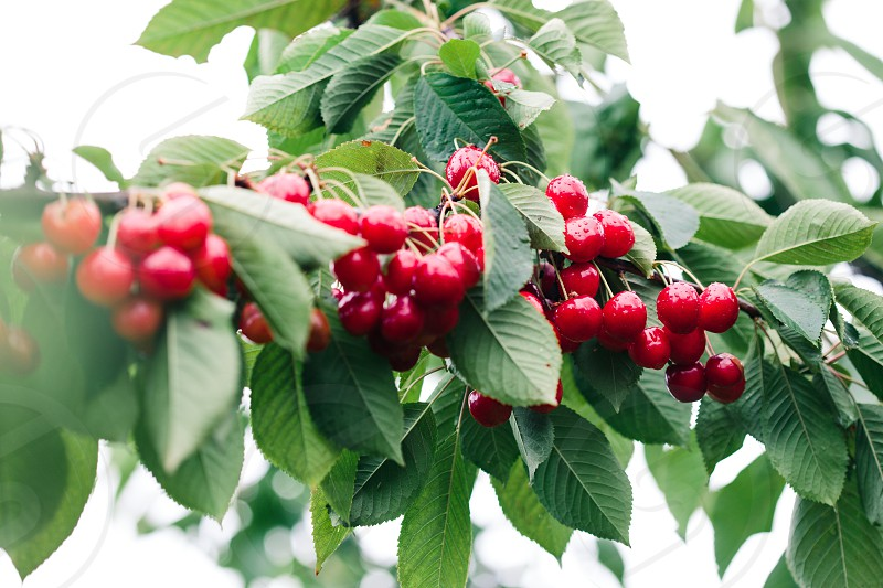 Closeup of ripe red cherry berries on tree among green leaves photo