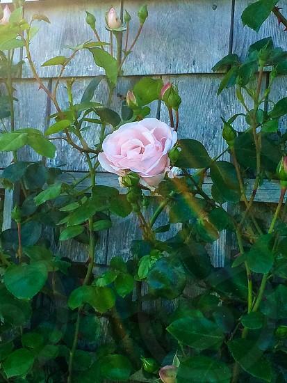 Roses climbing my home in Nantucket Massachusetts. photo