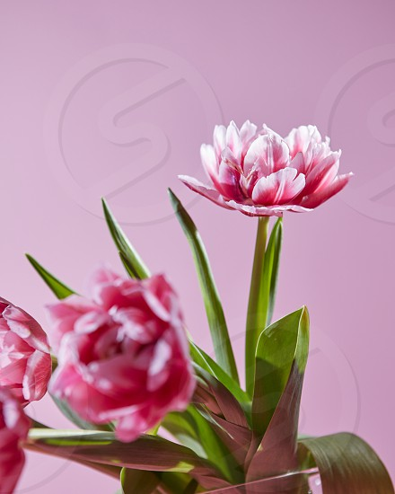 Blossoming pink spring tulips with green leaves on a pink background. Natural background for a postcard or layout photo