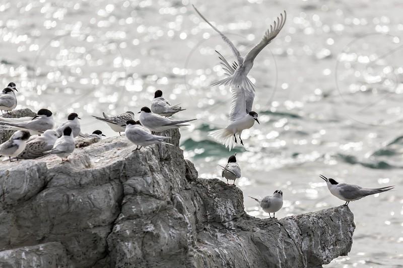 White-fronted Tern (Sterna striata) photo