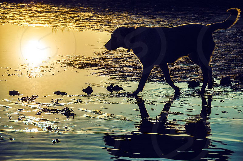A dog walking on the shore of a lake at sunrise. photo