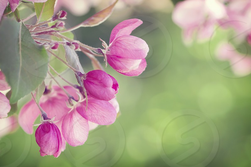 Close up of pretty pink apple blossoms. photo