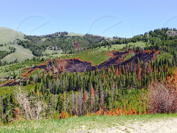 Forrest recovering from a Forrest fire. Trees flames woods photo
