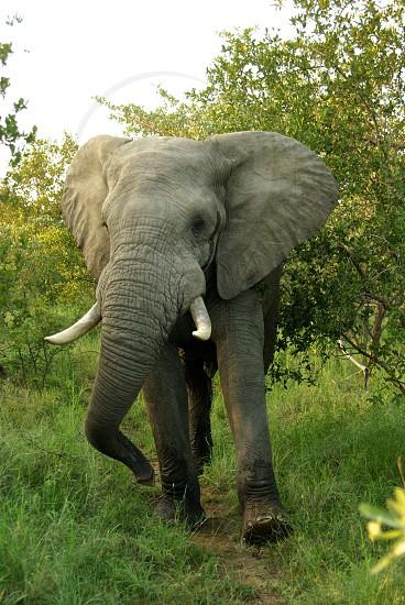 Elephant Walking photo