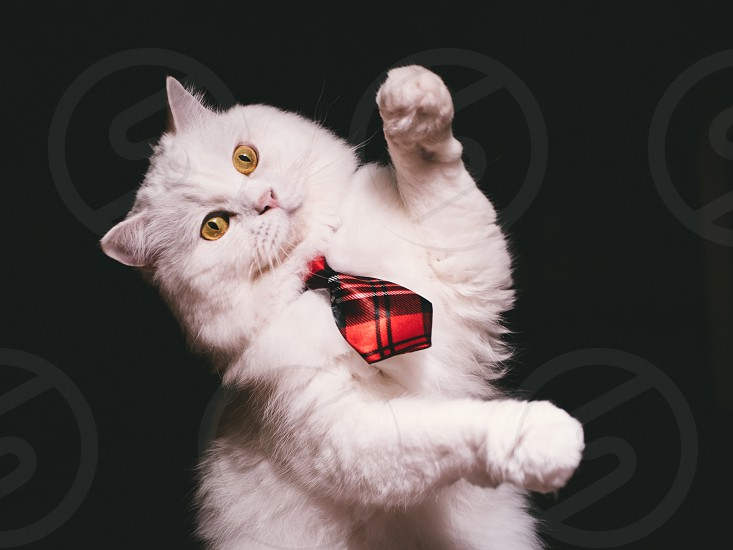 Adorable Highland Straight breed Cat. White color with magic yellow eyes and red tie on Isolated Black Background. Playful kitten. photo