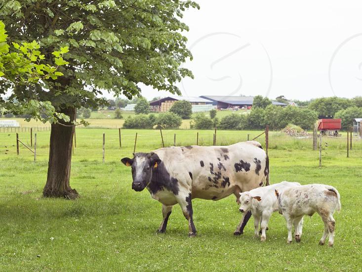 cow and calvesfarmpasturefrenchbovinegrassfeedingbreedtreefrance photo