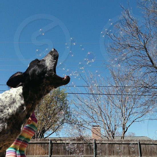 black and white dog barking photo