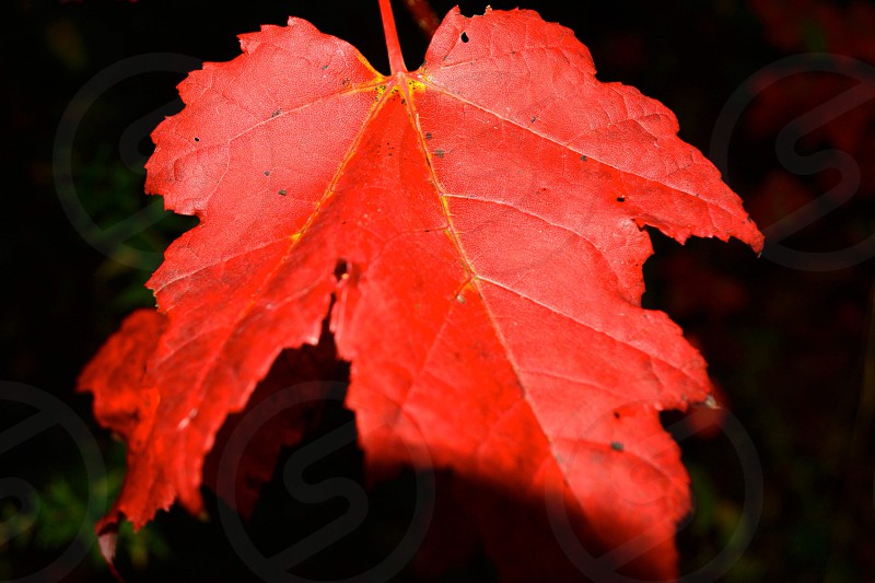 close up of red maple leaf with dark back ground nature photo