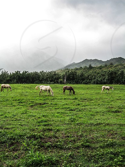 Horses grazing on the island of Kauai photo