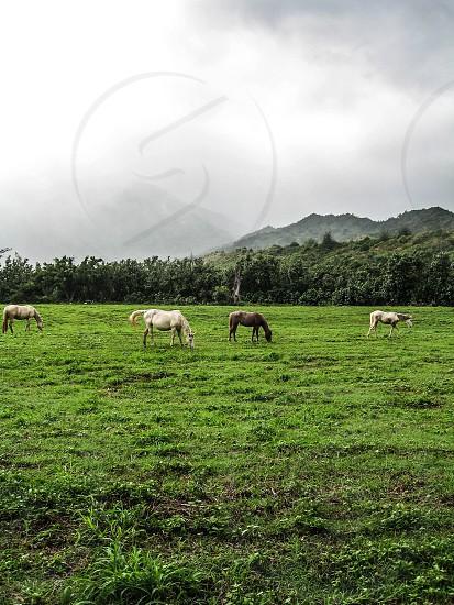 Horses grazing in Kauai Hawaii photo