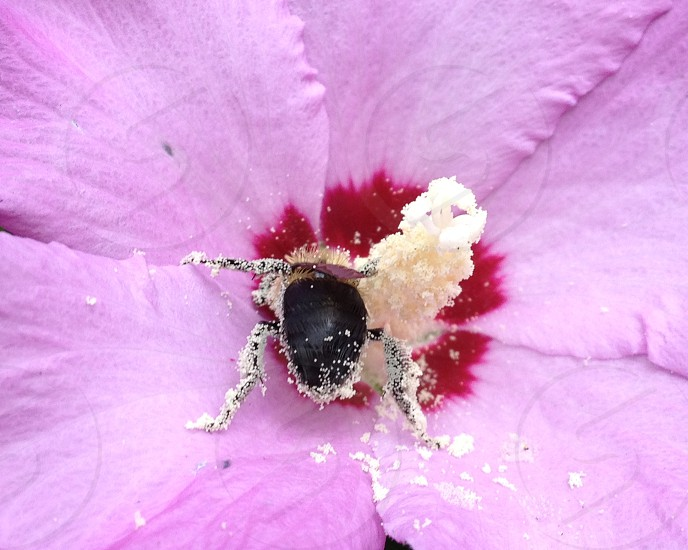 bee on to a purple hibiscus flower center photo