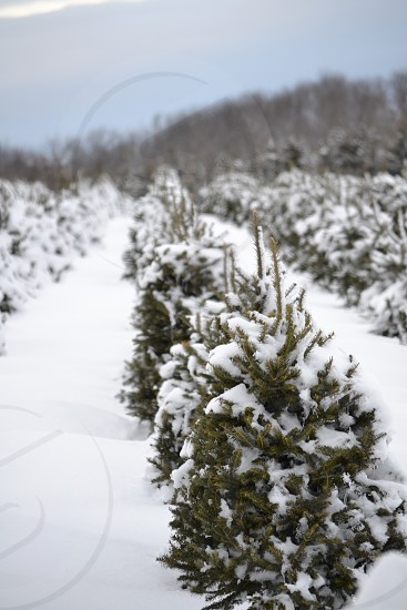 snowfield with pine shrubs photo