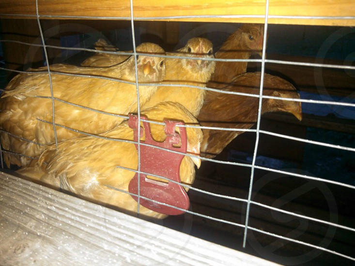 Chickens settling down for the night photo