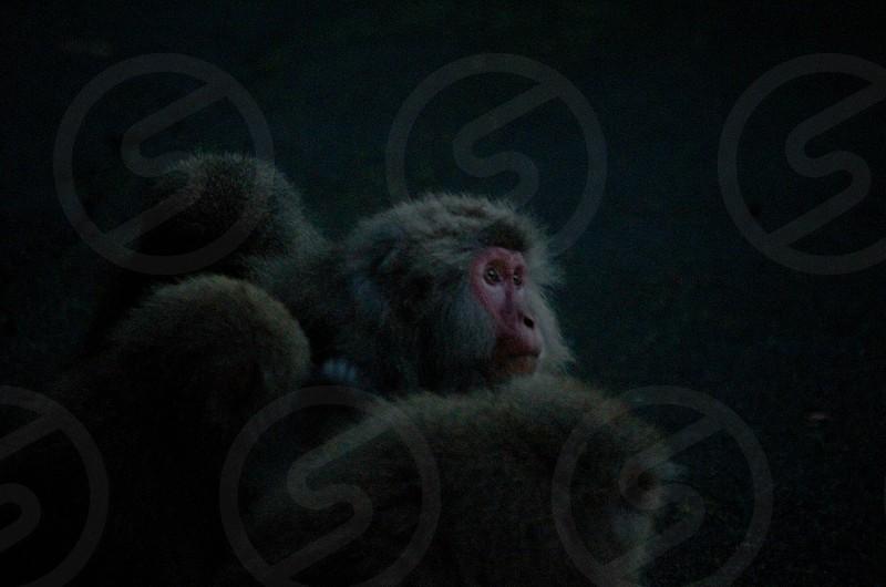 japanese monkey photo