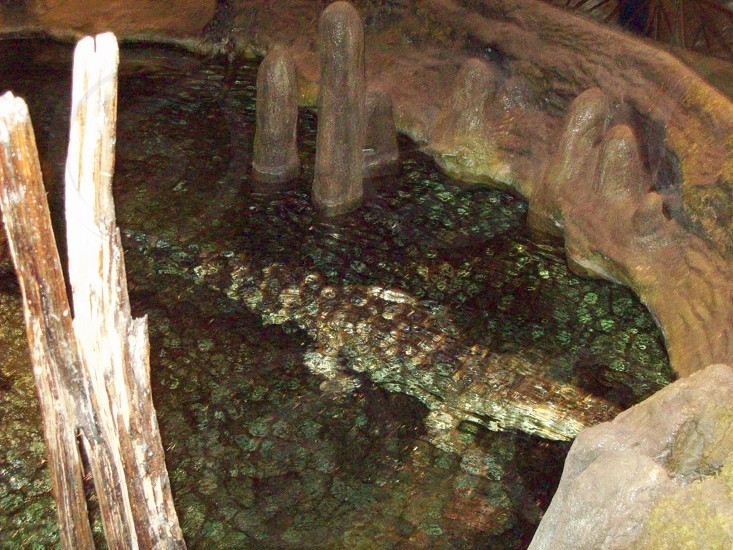 Alligator or crocodile under water   photo