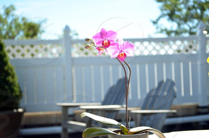 pink orchid white picket fence pretty pink orchids lounge relaxation wood chairs photo
