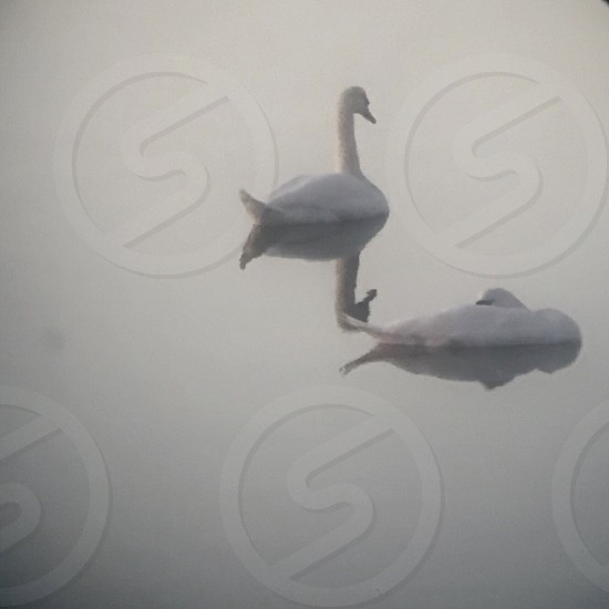 Swans reflections dream minimalism waters.  photo