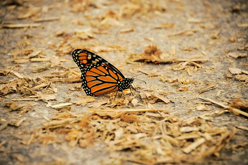 monarch butterfly on ground photo
