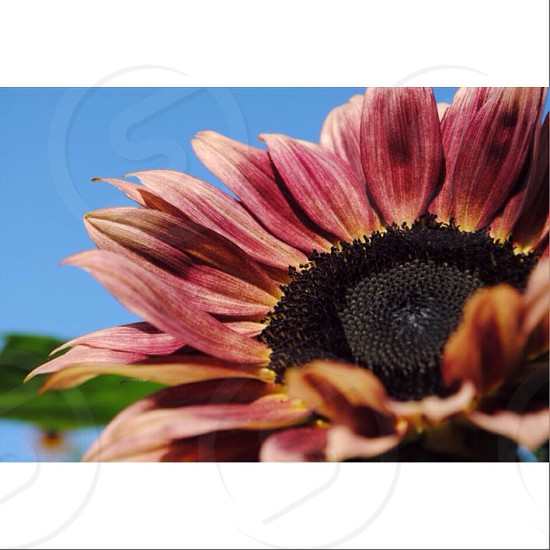 closeup photo of red sunflower photo
